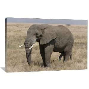 African Bush Elephant   Gallery Wrapped Canvas   Museum Quality  Size
