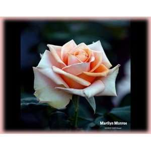 Monroe (Rosa Hybrid Tea)   Bare Root Rose Patio, Lawn & Garden