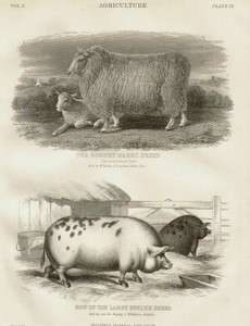 ROMNEY SHEEP   ENGLISH PIG ( Old Spot ) 1876 Original antique print